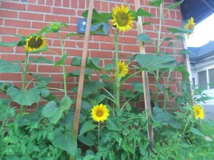 Garden box sunflowers